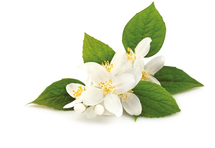 گل یاسمین